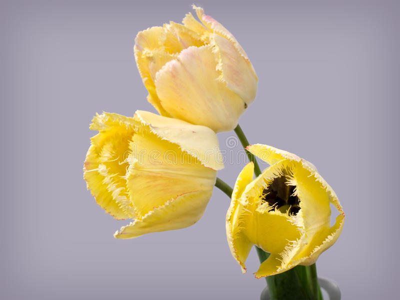 Omzoomde tulp royalty-vrije stock afbeelding