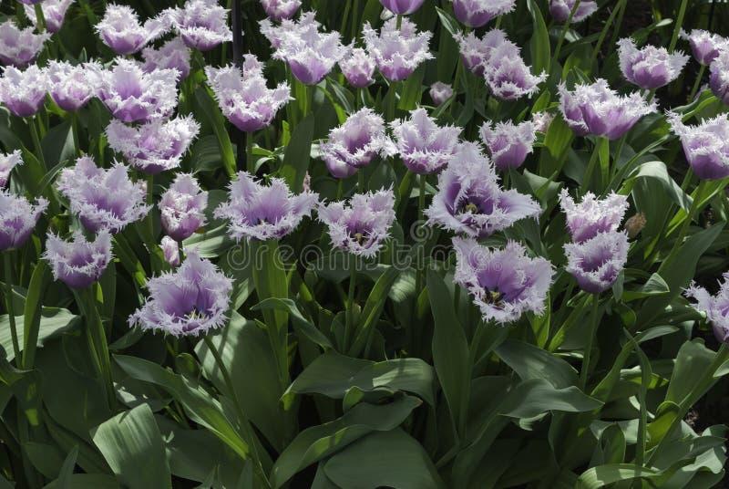 Omzoomde witte en purpere tulpen stock foto