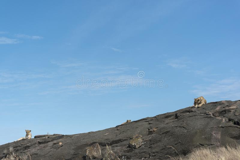 Ona do sono de dois leões uma rocha no Masai Mara National Park foto de stock royalty free