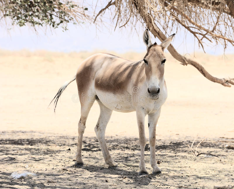 Onager royalty free stock photos