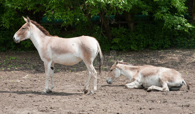 Onager stock foto's