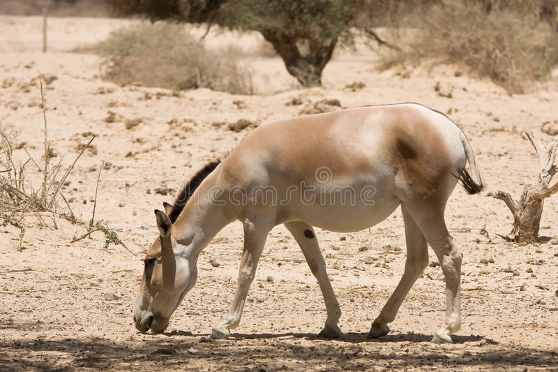 Onager photographie stock