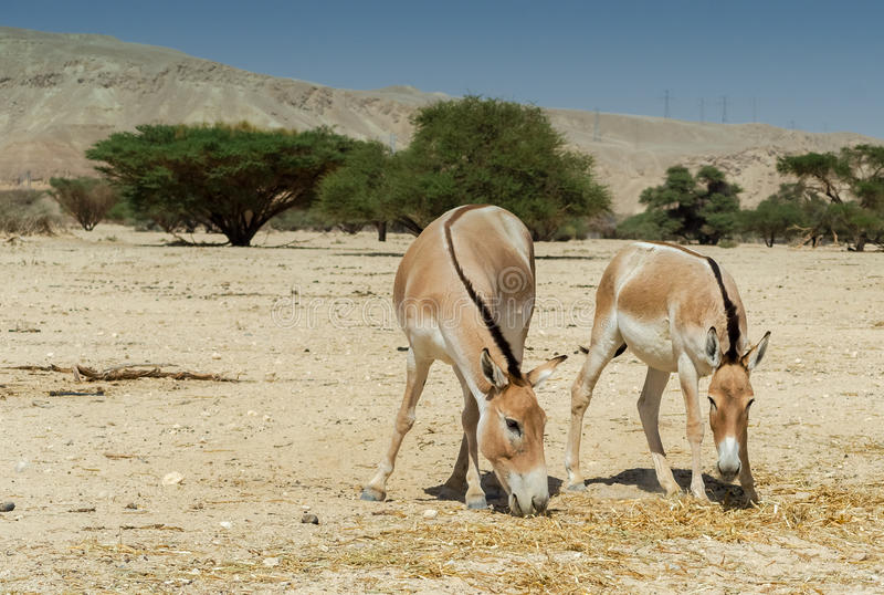 Onager (Equus hemionus) zdjęcie stock