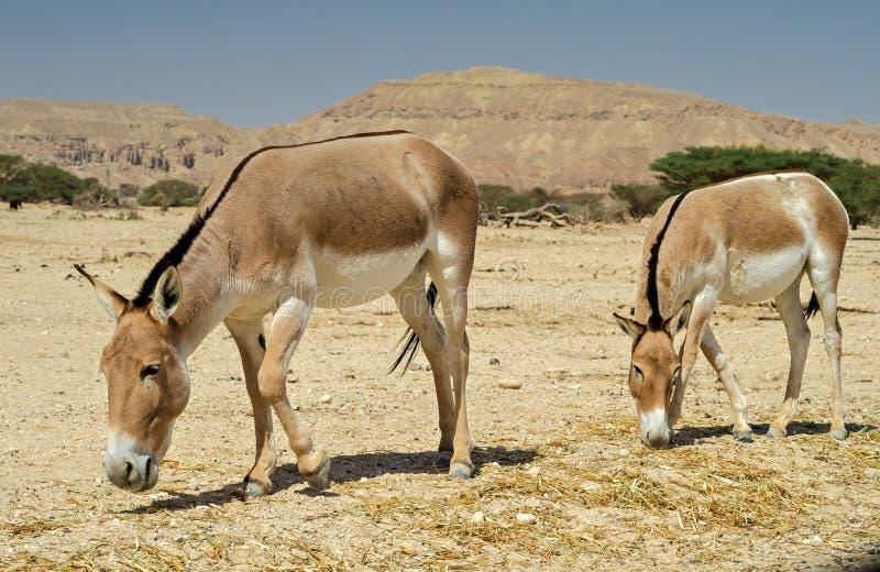 Onager (Equus hemionus) zdjęcie royalty free