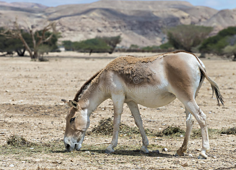 Onager (Equus-hemionus) is een bruine Aziatische wilde ezel stock foto