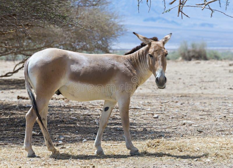 Onager (Equus-hemionus) is een bruine Aziatische wilde ezel stock fotografie