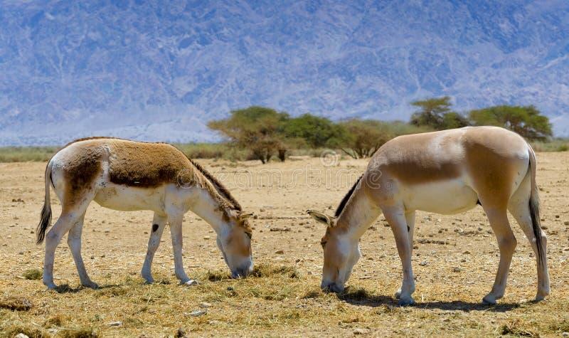 Onager Equus hemionus jest brown Azjatyckim dzikim osłem zdjęcia royalty free