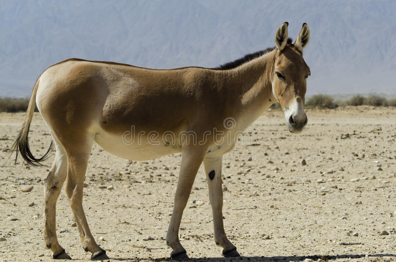 Download The onager, Israel stock image. Image of reservation - 24235337