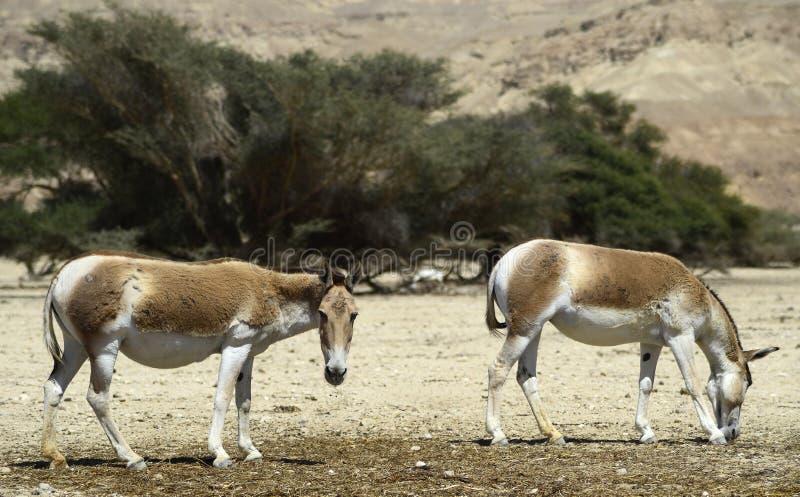 Onager jest brown Azjatyckim dzikim osłem (Equus hemionus) zdjęcie stock