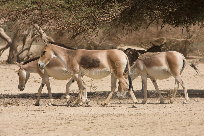 Onagers photo stock