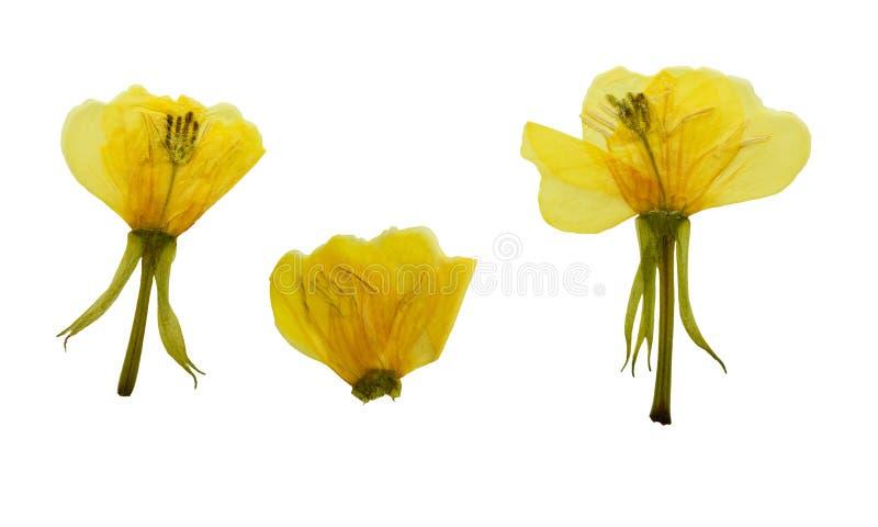 Onagra de las flores o biennis presionados y secados del Oenothera foto de archivo