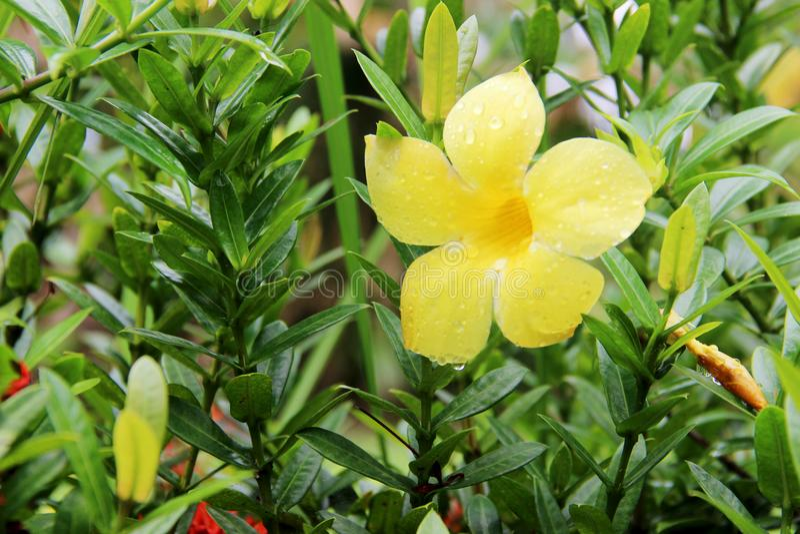 Onagraceae arkivfoto