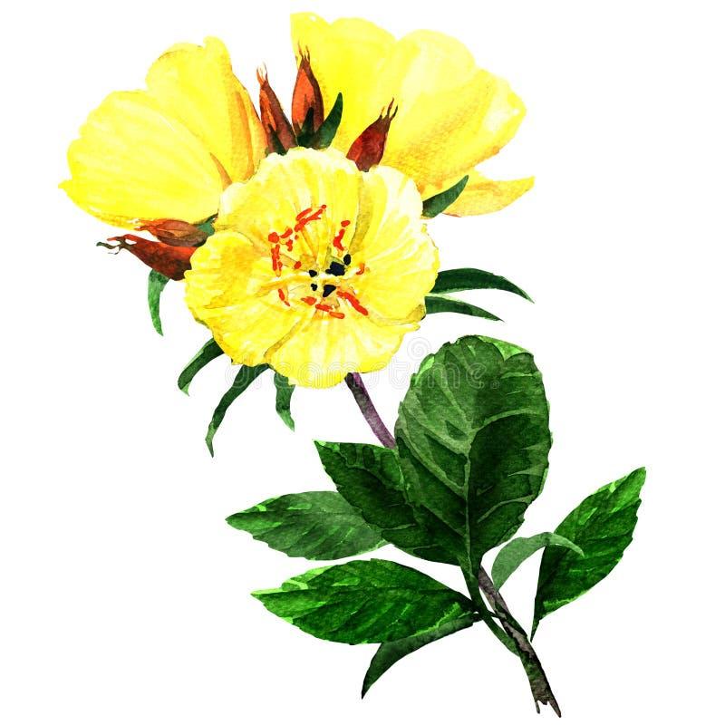 Onagras amarillas aisladas en blanco stock de ilustración