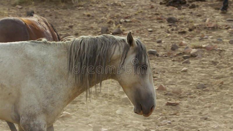 Onaquai野马牧群的一匹野生海湾野马 站立强忍在内华达的沙漠,美国 库存图片
