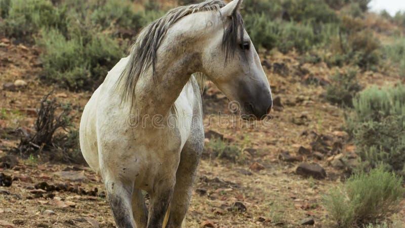 Onaquai野马牧群的一匹野生海湾野马 站立强忍在内华达的沙漠,美国 免版税库存图片