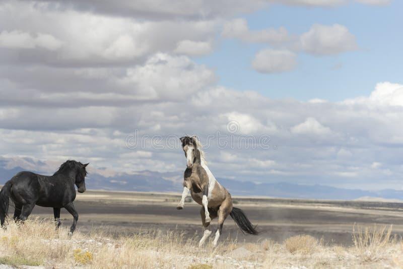 Onaqui Herd wild mustangs in the Great Desert Basin, Utah USA. Wild Mustangs Onaqui Herd wild mustangs in the Great Desert Basin, Utah USA stock photography