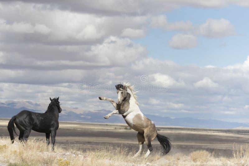 Onaqui Herd wild mustangs in the Great Desert Basin, Utah USA. Wild Mustangs Onaqui Herd wild mustangs in the Great Desert Basin, Utah USA royalty free stock image