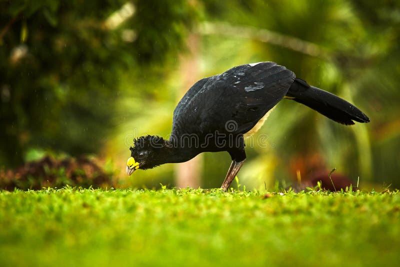 Onbeschaamde Curassow, Crax-fasciolata, grote zwarte vogel met geel stock foto