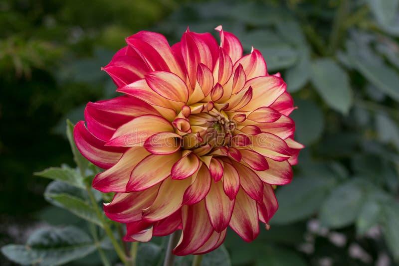 Onbetrouwbare Dahlia royalty-vrije stock foto's