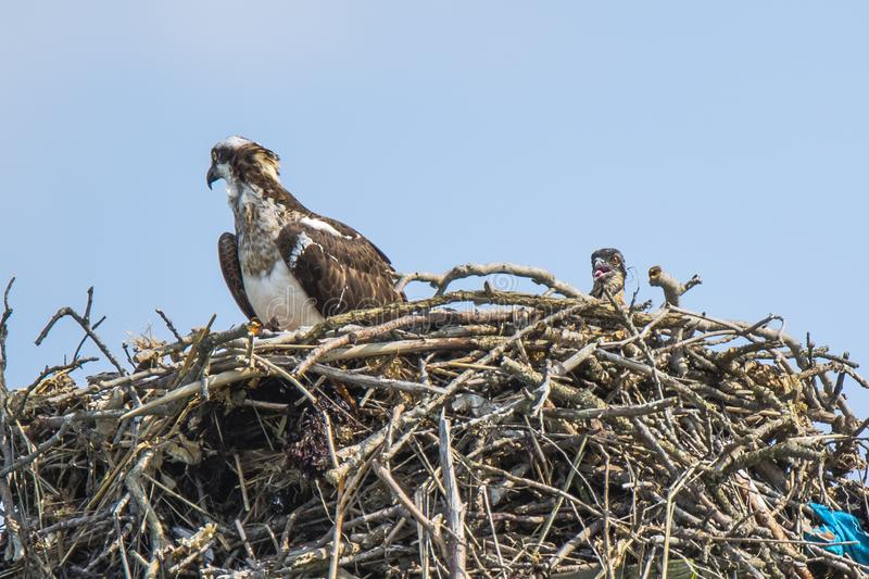 Osprey in Nest with Screaming Chick stock images
