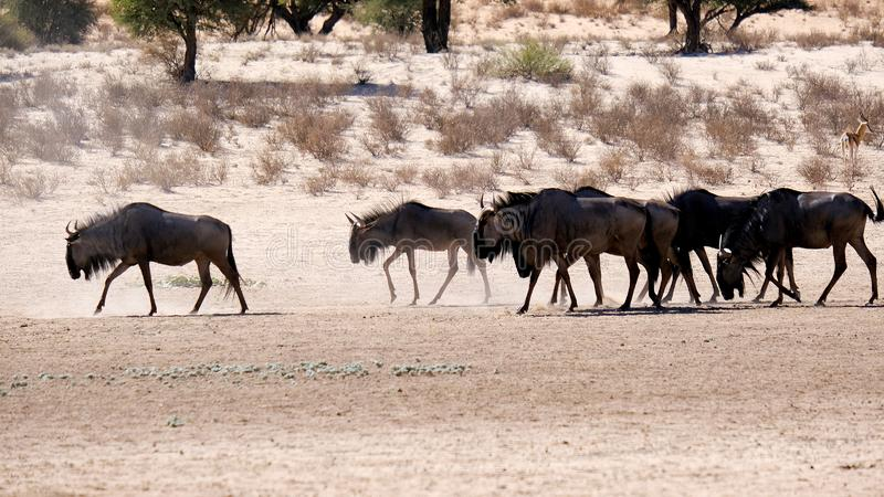 A herd of gnu moving along an arid river-bed in the Kgalagadi Transfrontier Park between Namibia and South Africa. stock images