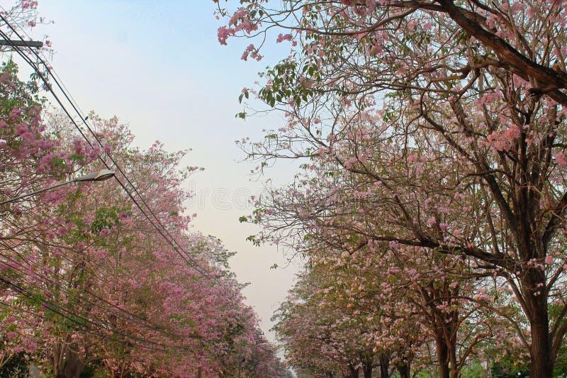 Kasetsart University Kamphaeng Saen Pink Trumpet Trees. Once a year, the pink trumpet trees, or Handroanthus impetiginosus, tabebuia impetiginosa, pink ipê royalty free stock image