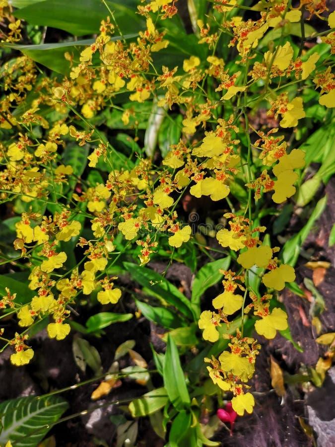 Oncidesa Goldiana anche conosciuto comunemente come la doccia dorata o i fiori ballanti di signora Orchid nel giardino di Singapo fotografie stock