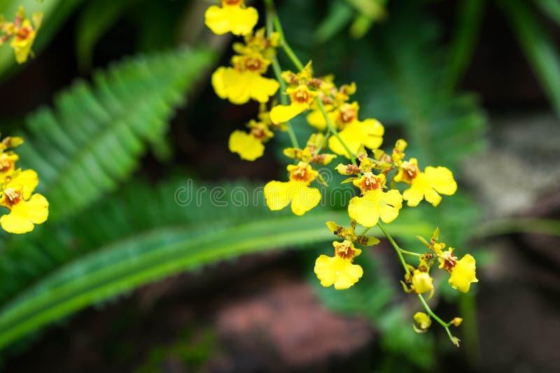 Oncidium Goldiana est connu en tant que Madame d'or Orch de douche ou de danse photos libres de droits