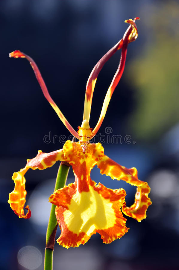 Download Oncidium orchid flower stock image. Image of posture - 11700547