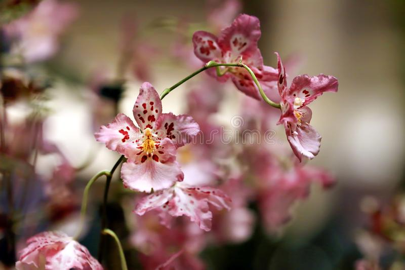 Detail Pink Oncidium Orchid with Bokeh Background and Natural Light. royalty free stock photo