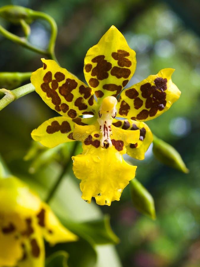 oncidiumorchid royaltyfri foto