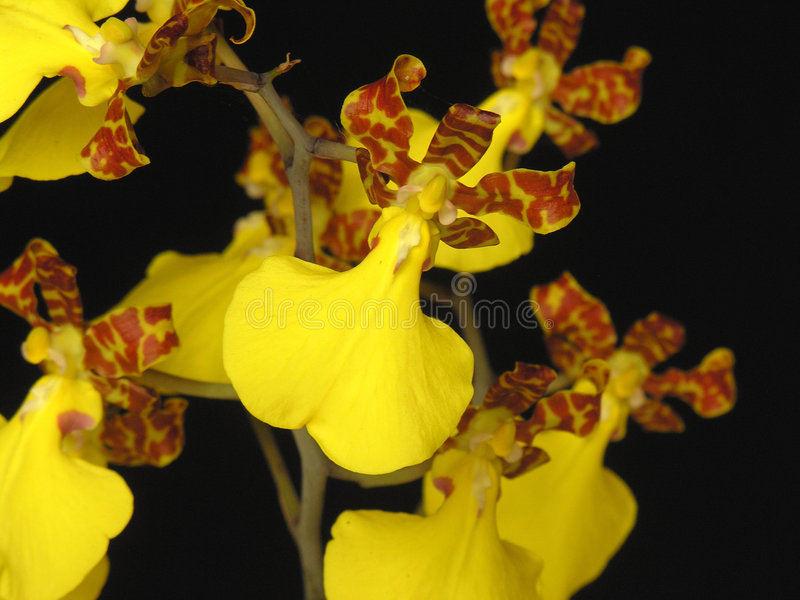oncidiumorchidsplendidum arkivfoto