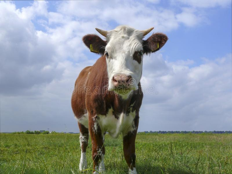 Oncoming red pied cow with pale pink tiny horns, one eye patch, under a blue cloudy sky and a distant horizon stock photos
