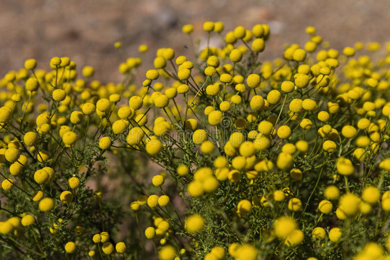 Oncosiphon piluliferum fynbos南部非洲的干旱台地高原 库存图片