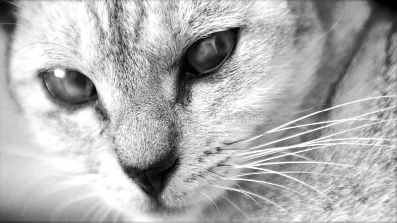 ond fotostirrande för katt royaltyfria foton