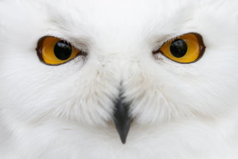 Onda ögon av snön - snöig por för närbild för ugglaBuboscandiacus fotografering för bildbyråer