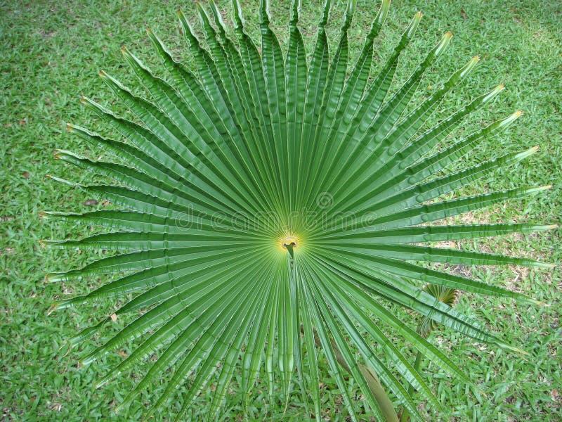 A onda da folha do Acanthus redonda como uma cauda do ะhe do sopro olhou como um melro fotografia de stock
