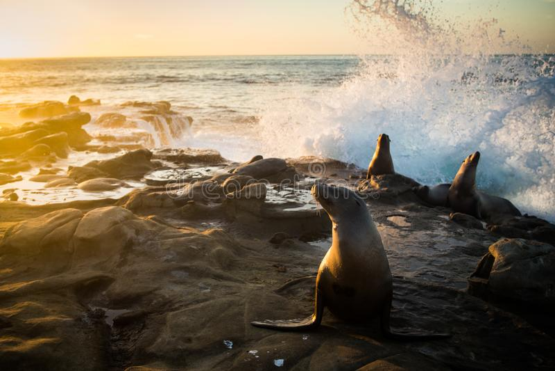 Ondas que estrellan Behing los leones marinos confiados imágenes de archivo libres de regalías