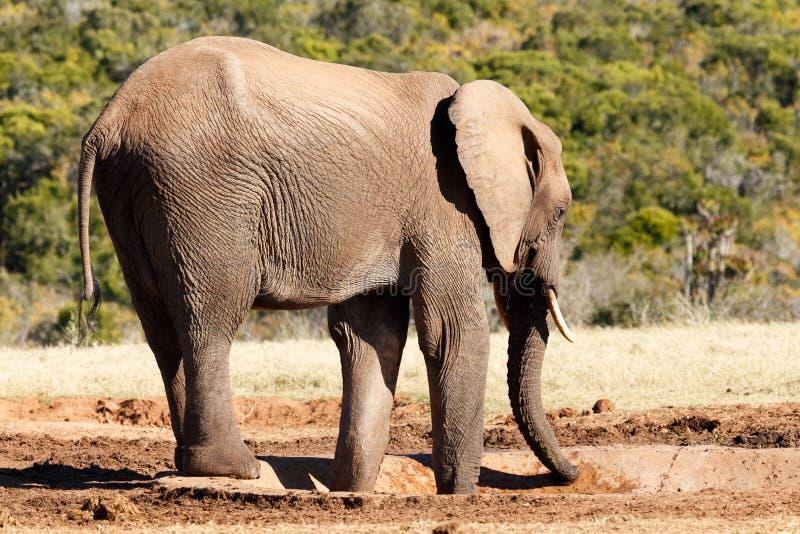 Onde está a água - elefante de Bush do africano fotos de stock royalty free