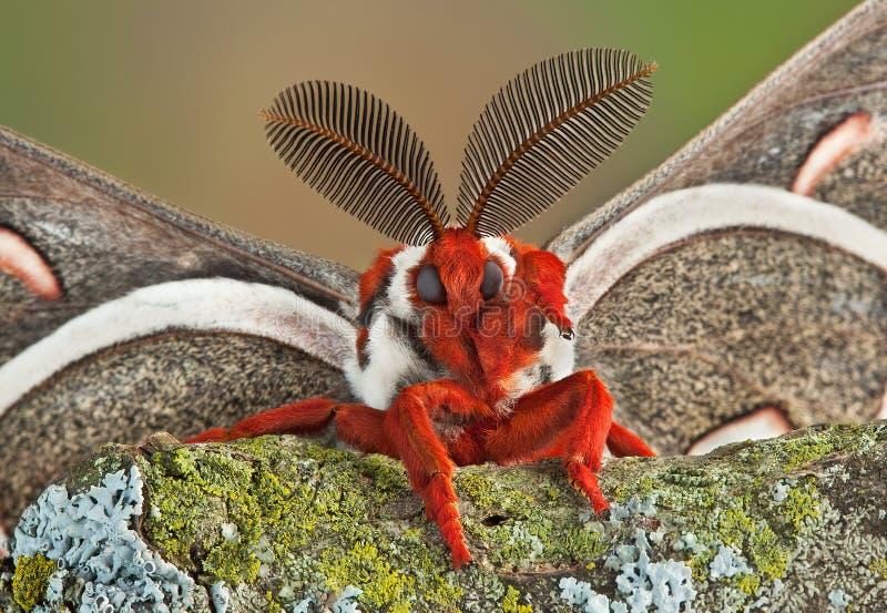 Ondeggiamento del lepidottero di Cecropia immagini stock libere da diritti