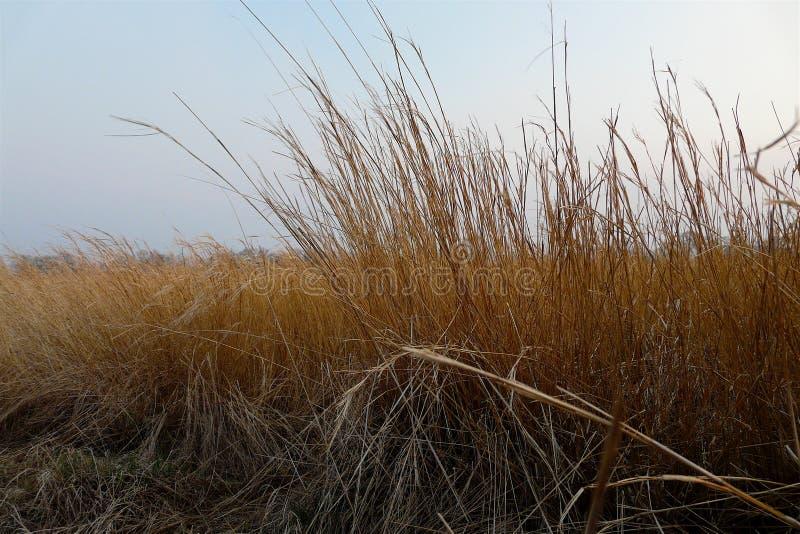 Ondeggiamento dell'erba asciutta nel vento contro il cielo di autunno di tramonto immagini stock