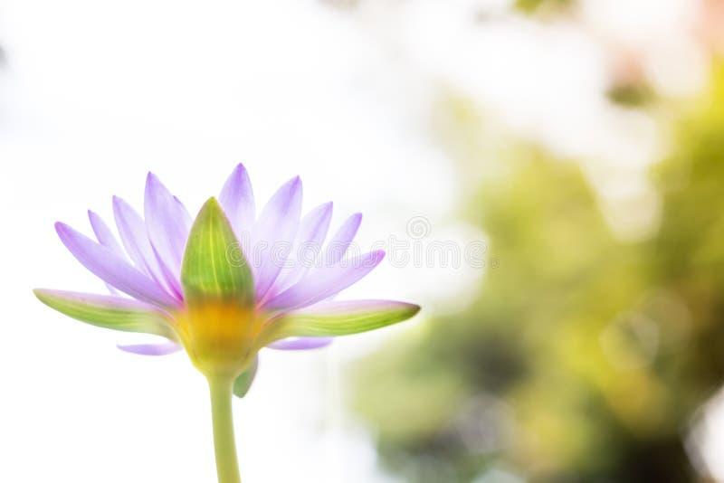Onder bloem of de waterlelie van menings de mooie purpere Lotus bij het onduidelijke beeld B stock fotografie