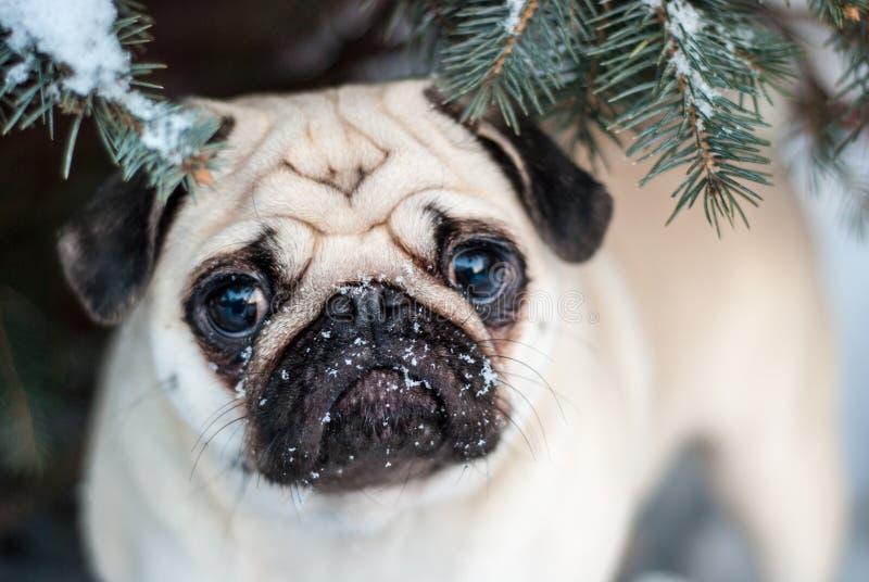 Onder de boom Pug in sneeuw Snuitpug royalty-vrije stock afbeeldingen