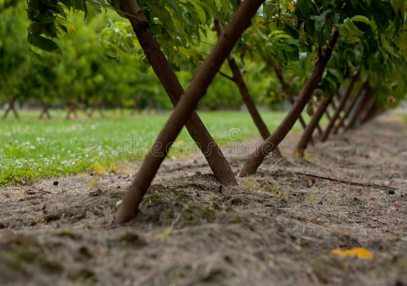 Onder de jonge abrikozenbomen in een boomgaard in Nieuw Zeeland royalty-vrije stock afbeelding