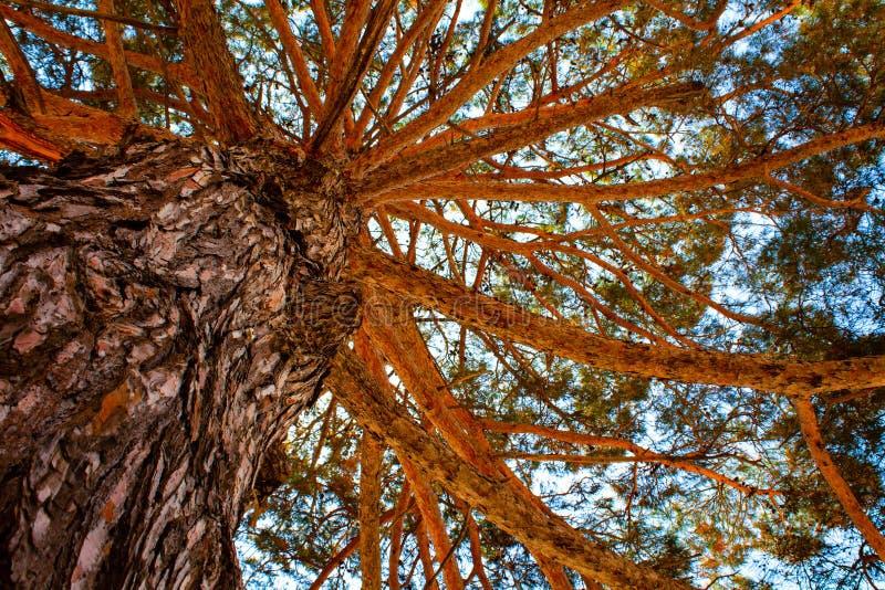 Onder de schaduw van lange boom Bruine lange boom met heel wat takken royalty-vrije stock fotografie