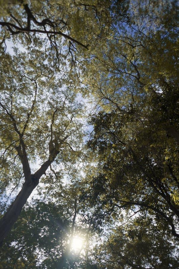 Onder de tak van lange bomen, gele bladeren met natuurlijke zonstraal en blauwe hemelachtergrond, lentetijd stock afbeeldingen