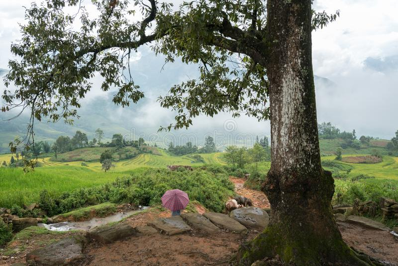 Onder grote boom met nevelig terraspadieveld in Lao Cai, Vietnam royalty-vrije stock afbeelding