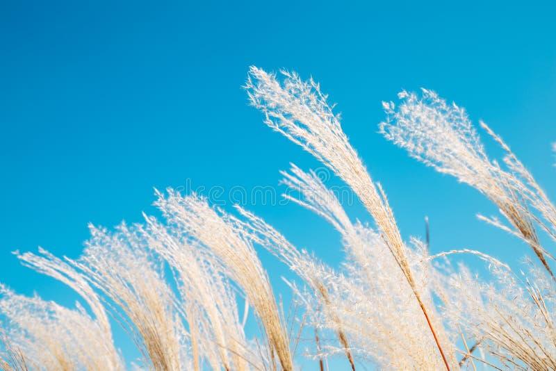 Onder het blauwe droge riet die van de hemelherfst in de wind blazen stock afbeeldingen