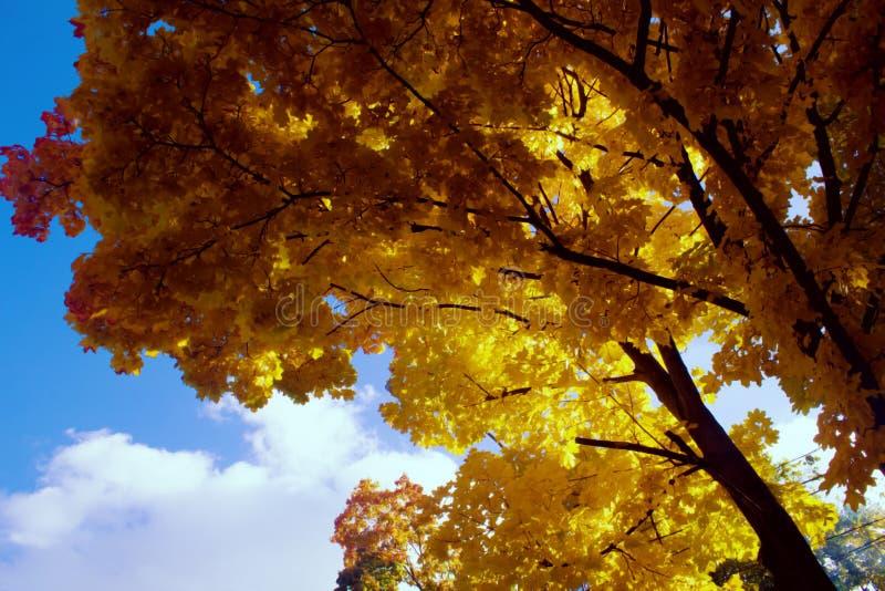 Onder het weelderige gebladerte van de herfstesdoorn royalty-vrije stock foto