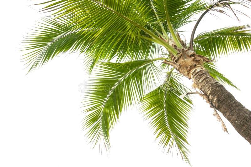 Onder kokospalm op de witte achtergrond stock afbeelding